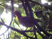 木の枝のコジュケイ