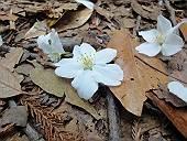 舞い散ったサクラの花