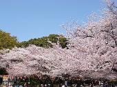上野公園のサクラ