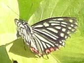 アカボシゴマダラ(マウスオンで、アゲハ夏型)