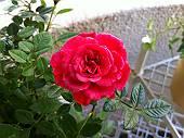 家の植木鉢に咲いたバラ